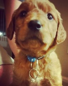 Sweetest proposal ever!! Golden retriever puppy