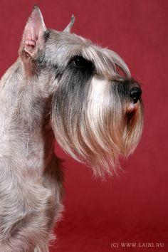 Standard Schnauzer. opawz.com  supply pet hair dye,pet hair chalk,pet perfume,pet shampoo,spa....