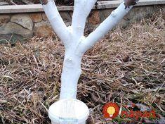100-rokov stará rada od záhradkára, ktorú na jar vyvážite zlatom: Len oprite o strom bielu palicu, túto fintu by mal poznať každý, kto chce úrodu ovocia! Gardening, Hana, Lawn And Garden, Yard Landscaping, Horticulture