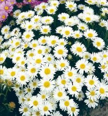 Astra alpínska ´WHITE BEAUTY´ Plants, Plant, Planets