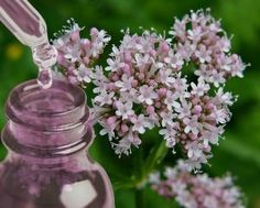 Valeriana officinalis©Tranceplants - High quality Shamanic and Medicinal Incenses Nervous Conditions, Medicine Wheel, Medicinal Herbs, Insomnia, Incense, Roots, Herbalism, Healthy Living, Berries