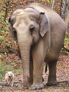 The ELEPHANT SANCTUARY- Hohenwald, Tennessee where elephants rescued from zoos and circuses go to retire a very unusual friendship has emerged. Tarra the elephant has bonded with Bella the dog and the two have been inseparable. Primates, Mammals, Amor Animal, Mundo Animal, Beautiful Creatures, Animals Beautiful, Cute Animals, Asian Elephant, Elephant Love
