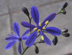Pasithea caerulea (azulillo) Chile, Purple Flowers, Planting Flowers, Beautiful Flowers, Seeds, Leaves, Nature, Canon, Google