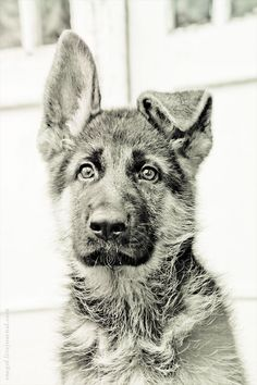 makes me think of my husband :) he loves floppy ear'd german shepards