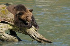 Bear Images, Bear Pictures, Cool Pictures, Grizzly Bear Cub, Bear Cubs, Baby Bears, Alaska Travel, Photography Workshops, Brown Bear