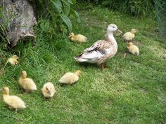 Silver Appleyard Ducks are another endangered heritage breed.  Good foragers and layers, nice meat and calm temperament.