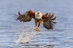An African Fish Eagle on the hunt and snatching a  fish from the Chobe River  Zambezi Voyager, Chobe River, Botswana