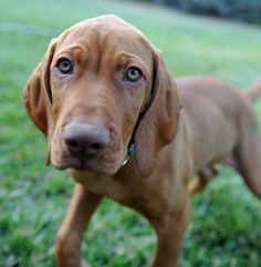 Hungarian Vizsla - beautiful