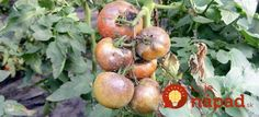 Late Blight (Phytophthora infestans) Fungus On Tomatoes - The Plant Guide Culture Tomate, Potager Bio, Plant Guide, Fungi, Horticulture, Vegetable Garden, Planters, Home And Garden, Gardening