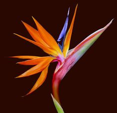 Strelitzia (Bird of Paradise) – Unmistakable large and exotic flowers with blue and orange flowers.