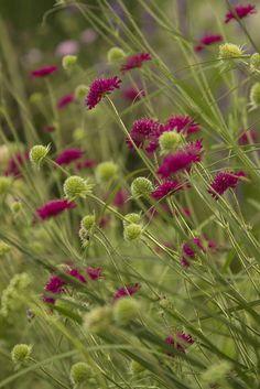 Nostalgia.  Knautia. My first garden....Gunbarrel, CO.  Make's me smile!