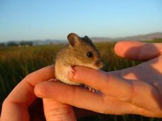 Salt marshes provide flood control for communities and habitat for wildlife, like this endangered salt marsh harvest mouse. But according to a new USGS report, San Francisco Bay could lose more of its salt marshes by the year 2100 due to sea level rise. Click photo to read more: