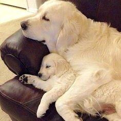Golden Retrievers are one of the most honest dog breeds you'll ever encounter. Dogs Golden Retriever, Labrador Retriever, Golden Retrievers, Funny Dogs, Cute Dogs, Finding Neverland, Good Night, Puppy Love, Animal Pictures