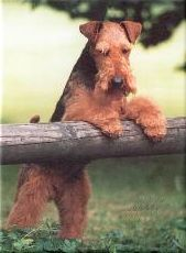 Welsh Terrier // Multi Ch Gatewood Roll the Dice