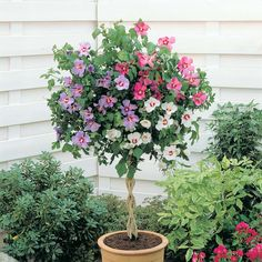 Hibiscus 'Tricolour' (Standard) from Van Meuwen - quality gardens at everyday prices Potted Trees, Trees And Shrubs, Flowering Trees, Patio Plants, Garden Plants, House Plants, Hibiscus Garden, Hibiscus Flowers, Hawaiian Flowers