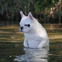 French Bulldog at the Creek, surveying the fishes