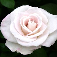 WORLD WAR || MEMORIAL ROSE™Hardiness Zone(s) 7 (0° to 10°), 8 (10° to 20°), 9 (20° to 30°), 10 (30° to 40°) Specifc ARS Score No Approximate Size 4' X 2' Bloom Type Fully Double Rebloom Repeat Blooming Fragrance Very Fragrant