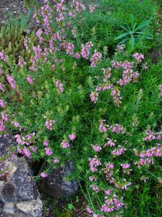 Hyssop Essential Oil: Hyssop aids relaxation, it clears the mind and helps bring clarity to confusion or fatigue.