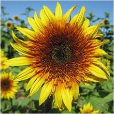 Sundance Kid Sunflower Seeds (Helianthus annuus)