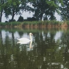Hattyú 💛🐔🌳🌊☁ #szajol #hattyú #tisza #nature #lake #beautiful #naturelove #holttisza #loveit #swan Ture Love, Swan, Beautiful, Instagram Posts, Nature, Animals, Swans, Naturaleza, Animales