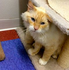 Blaze is a male flame point Himalayan mix who is FIV+.