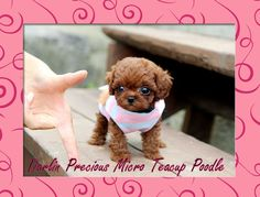 Anybody, want a teacup poodle? Micro Teacup Poodle, Teacup Poodle Puppies, Teacup Pug, Tea Cup Poodle, Pug Puppies, Pugs, Small Puppies, Cute Dogs And Puppies, Cutest Dogs