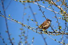 vrabie, sparrow