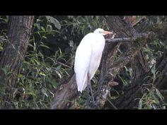 Sieniawka #68   Czaple białe   White Herons Herons, Wordpress, Bird, Animals, Fotografia, Animales, Animaux, Birds, Animal
