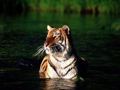 Tygr HD tapeta