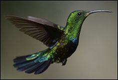 These large, colorful Green Throated Carib hummingbirds are quite common in St. Maarten and the Caribbean islands. They feed on nectar of flowering shrubs and trees as well as insects and spiders.