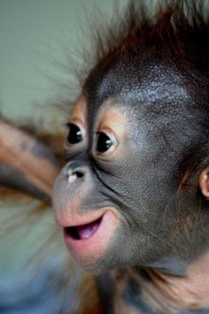 Orangutan baby at babies house, Samboja Lestari, BOS-F, East Kalimantan Monkey Pictures, Baby Animals Pictures, Animals And Pets, Strange Animals, Baby Exotic Animals, Wild Animals, Primates, Borneo Orangutan, Baby Orangutan
