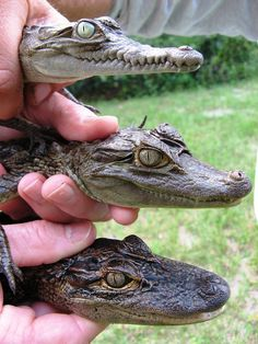 From top to bottom, we have the American crocodile, spectacled caiman and American alligator.