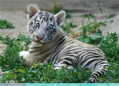 Look at the Big Baby Blues of this White Tiger Cub. Tiger Images, Tiger Pictures, Animal Pictures, Cute Tiger Cubs, Cute Tigers, Big Cats, Cats And Kittens, Cute Cats, Siamese Cats