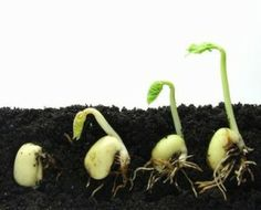 The genetic 'wiring' that helps a seed to decide on the perfect time to germinate has been revealed by scientists for the first time. (Credi...