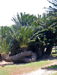Encephalartos Transvenosus Modjadji Cycad Modjadjibroodboom m SA no 13 All About Africa, Out Of Africa, Planting Succulents, Planting Flowers, The Beautiful Country, Beaches In The World, Exotic Plants, Rest Of The World, Amazing Flowers