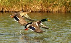 Ducks Unlimited Photo Gallery : HOME