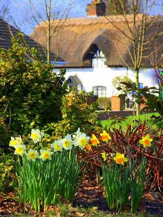 English Country cottage with Daffodils in the garden, a sure sign that Spring is here - one of my favourite flowers
