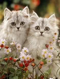 Domestic Cat, Two Silvertabby Persian Kittens Among Michaelmas Dasies and Rose Hip Photographic Print by Jane Burton Kittens And Puppies, Cute Cats And Kittens, Kittens Cutest, Pretty Cats, Beautiful Cats, Animals Beautiful, Animals And Pets, Baby Animals, Cute Animals
