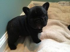 Black french bulldog puppy.