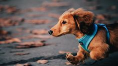 Happy Dachshund  Share with others if You like it ❤ #dachshund #dachshunds #dachshundpuppy #dachshundlove #dachshundsdaily #dogs #cute