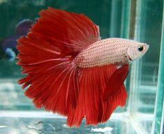 Red/White Dragonscale halfmoon Siamese Fighting Fish, Water Life, Betta Fish, Koi, Aquarium, Red And White, Pictures, Animals, Beautiful