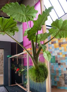 a giant elephant ear plant - String Garden Photos String Garden, Elephant Ear Plant, Elephant Ears, Dream Garden, Garden Art, Garden Design, Air Plants, Indoor Plants, Art Floral Japonais