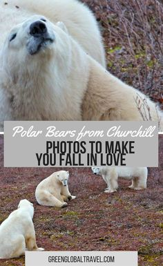 Photos that will make you fall in love with these polar bears! | Churchill | Wildlife | Natural Habitat | Manitoba | Animals | Fight | Tundra | Cubs |