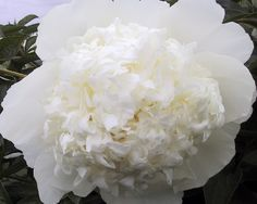 Princess Bride - Mid Lateseason Lactiflora, double white, pure white with large, rounded and cupped guard petals that hold a looser but pure white center ball of petals , Lush, dark green foliage, fragrant, excellent cutflower, (Roy G. Klehm 1988). www.peonyshop.com