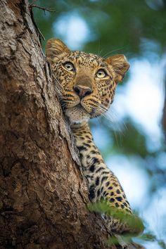 """beautiful-wildlife: """" Innocent Eyes by Manuel Graf """""""