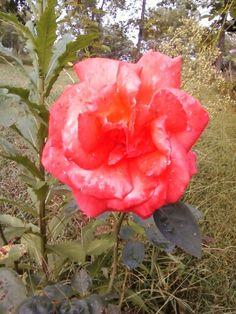 Dew on a rose :)