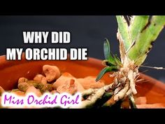 Why did my Orchid die? Our orchid fails - our greatest teachers - YouTube