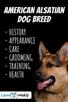 In this guide we will be unveiling the history of the American Alsatian Breed, looking at the appearance, feeding and grooming needs, and personality.