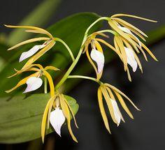 Encyclia brassavola
