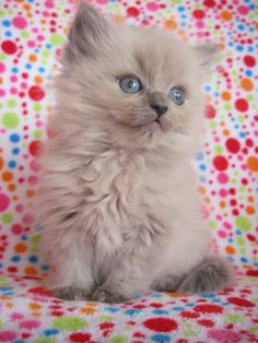 I want this Ragdoll kitty!!!
